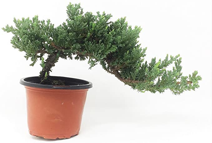 Bonsaioutlet Healthy Small Windswept Juniper Pre Bonsai Juniperus Procumbens Nana