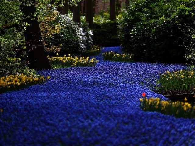 Tulips at Keukenhof Gardens in the Netherlands.