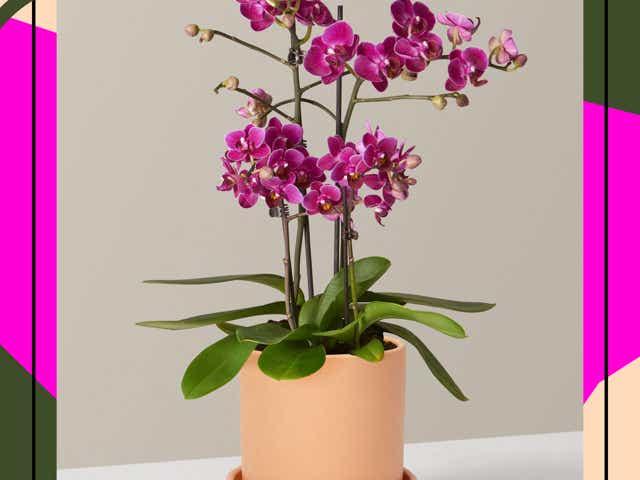 The Sill's Purple Orchid in cream pot