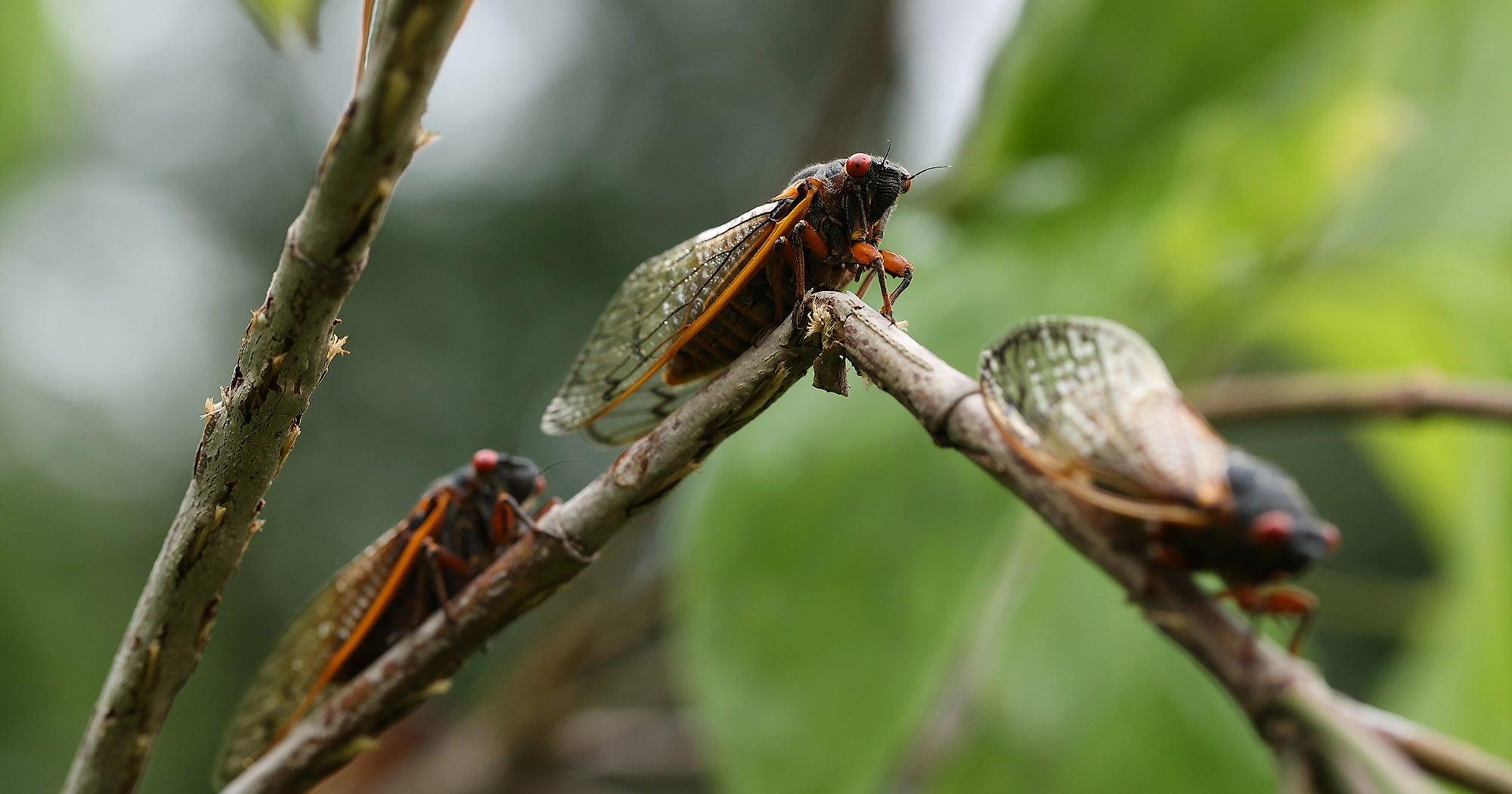 Cicadas Are Everywhere. So Are Cicada Memes.