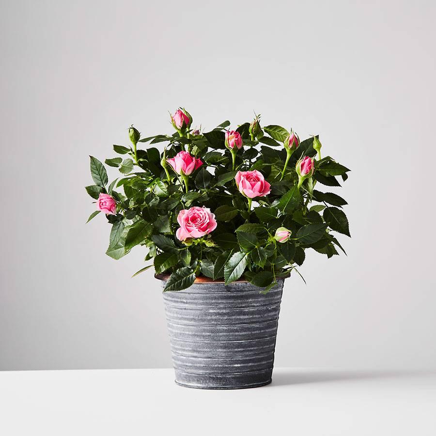 Plants.com Rose Plant